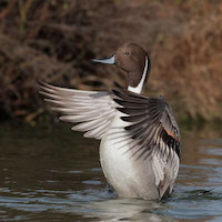Northern Pintail. By Tom Grey.