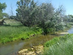 The NAWCA small grant funds the removal of Russian-olive trees, like the one pictured overhanging the South Fork of the Republican River in Yuma County, Colorado. Photo courtesy of Fred Raish, Yuma County Pest Control District.