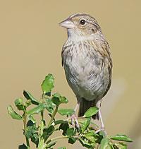 grasshopper_sparrow