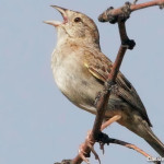 Cassin's Sparrow