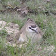 Mountain Plover